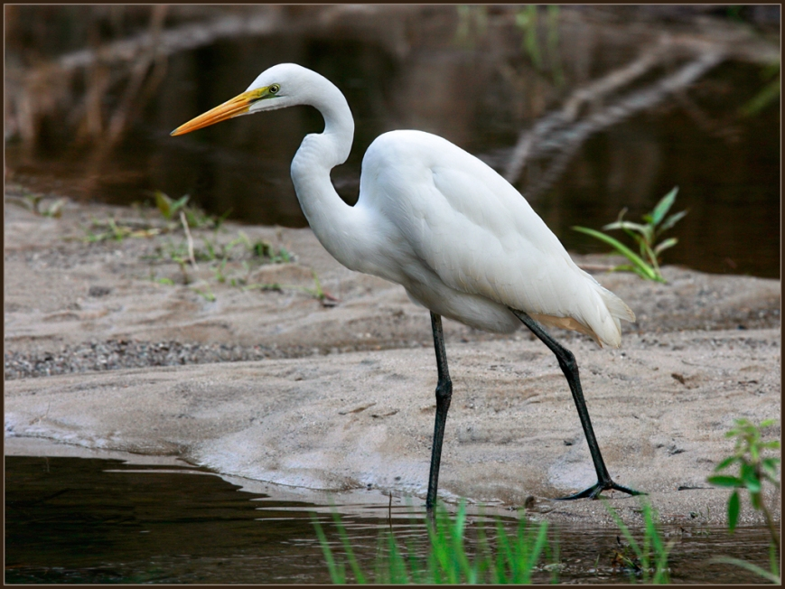 Great-Egret-Fishing