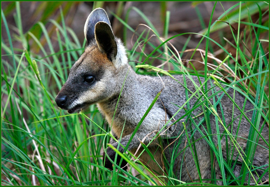Wallaby hiding in some long grass