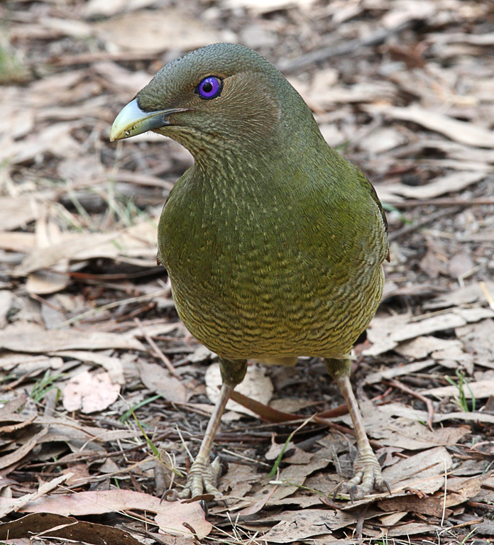 Female-Bower-Bird