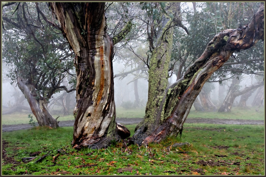 Foggy Snow Gums