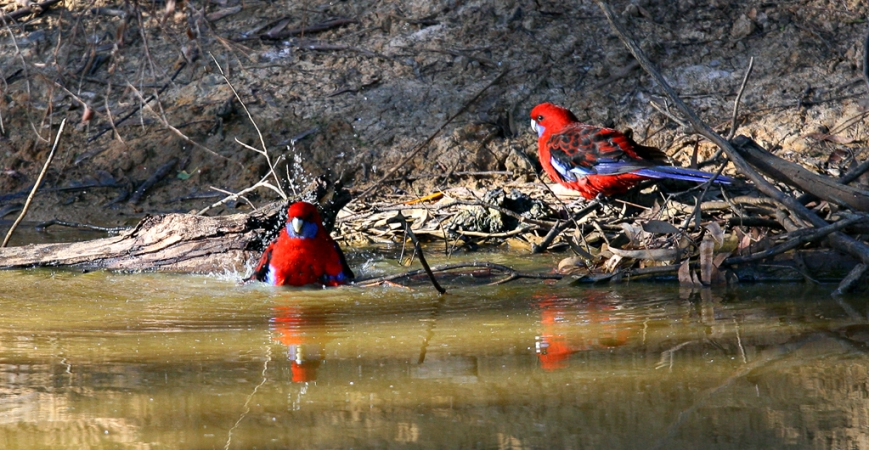 Rosella's-Bathing