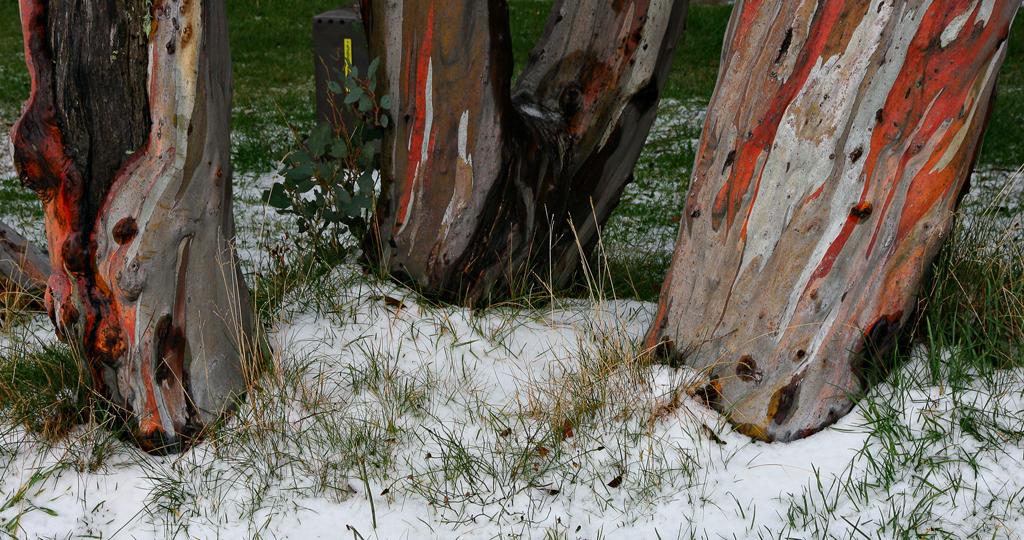 Snow-Gums