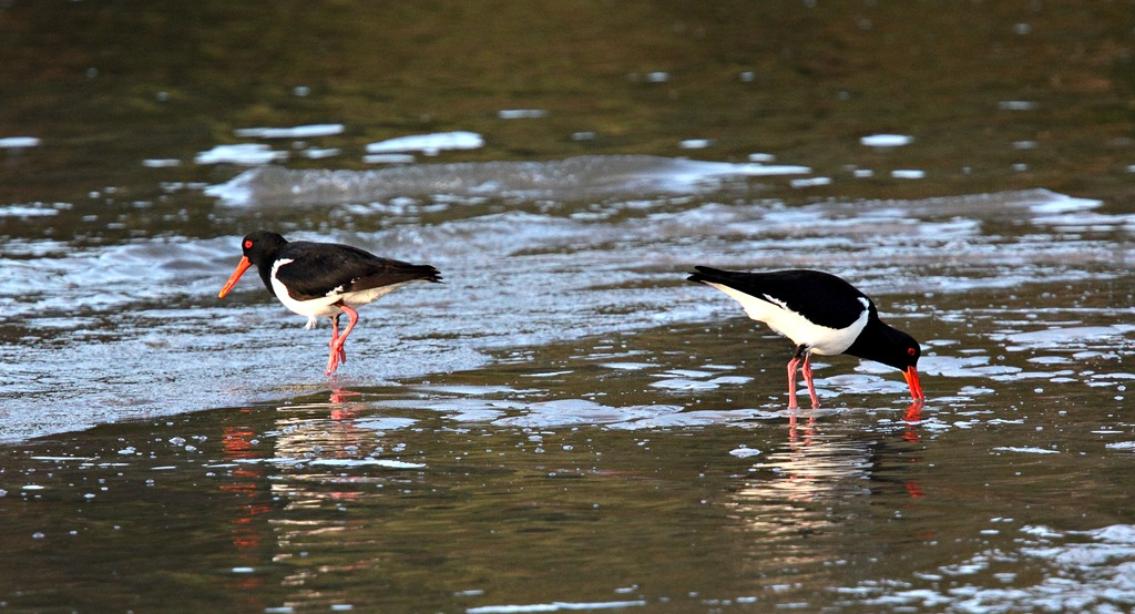 Pied-Oystercatchers.jpg