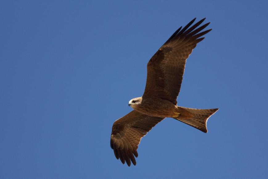Whistling-Kite 2