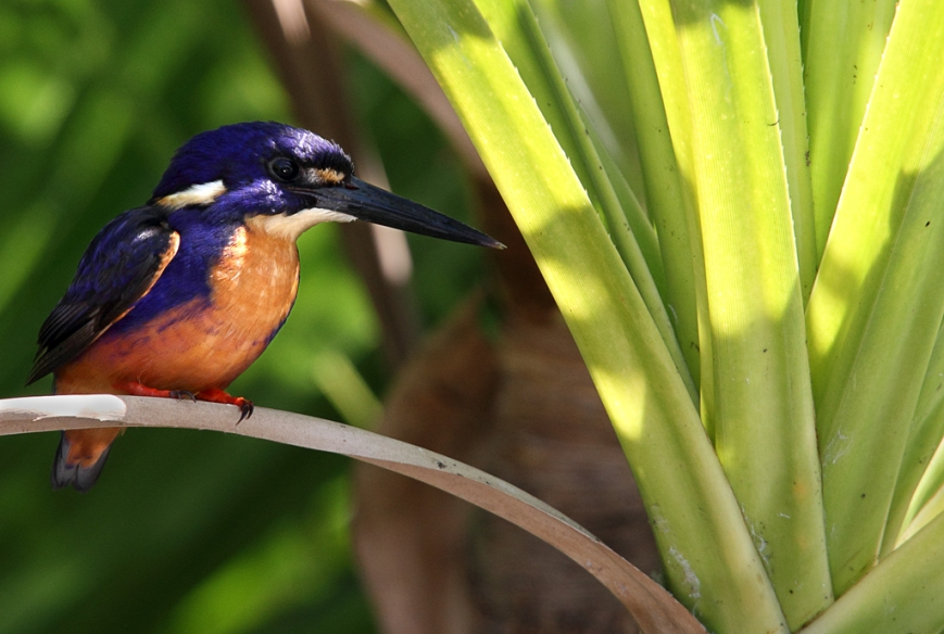 Azure-Kingfisher