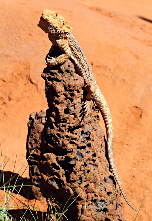 Bearded-Dragon-1