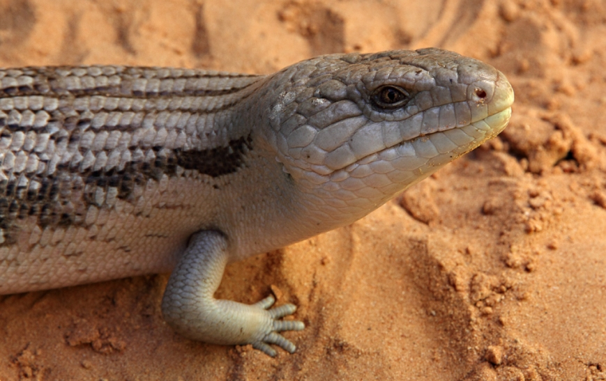 Blue-Tongue-Lizard