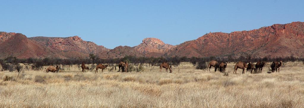 Camels-at-Gosses-Bluff