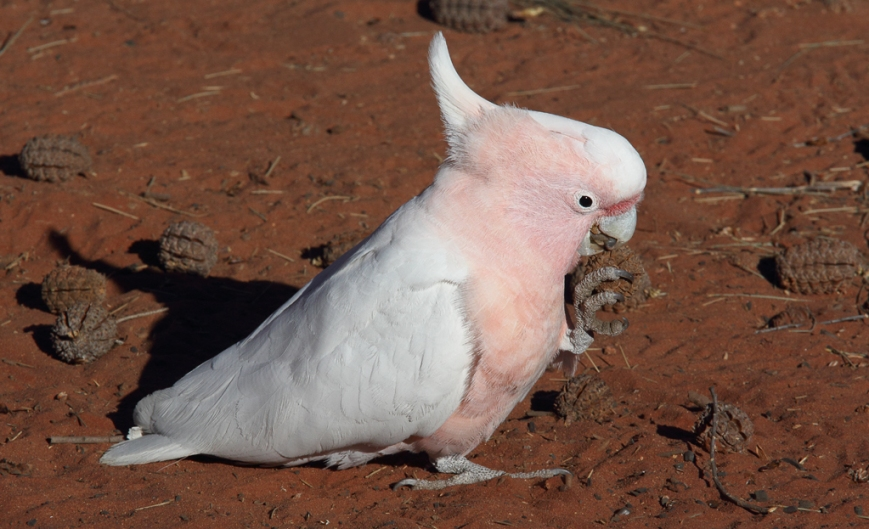 Major-Mitchell-Cockatoo-1