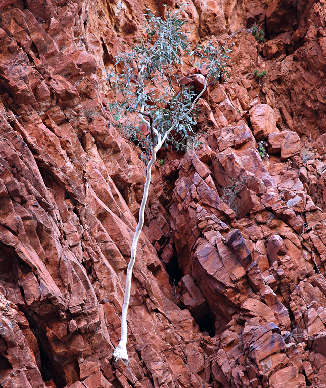 Redbank-Tree
