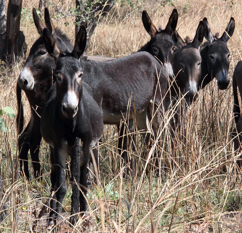 Wild-Donkeys